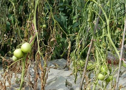 青枯病导致番茄成片死亡?搞清楚发病原因,全方位防控很关键