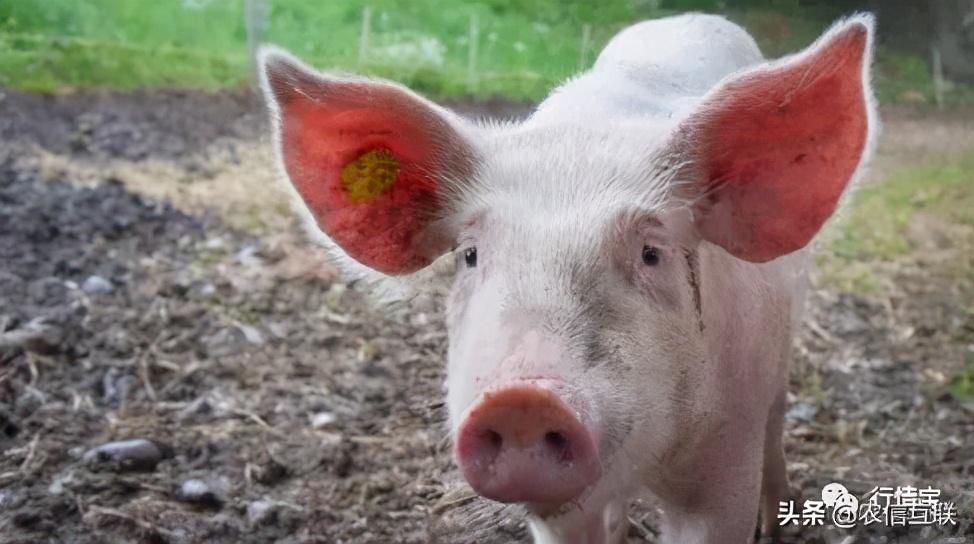 猪价暴跌后大涨!能否突破18元?猪肉价格连降9周!便宜肉来了