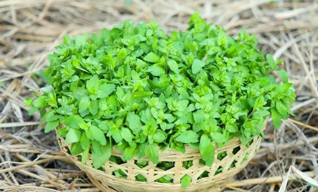 每周精选|金膳舫枸杞芽,味道清香