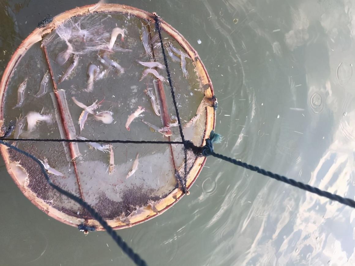 「对虾养殖管理」大蒜在水产养殖好处多,它都有哪些妙用?