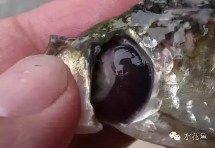 魚類常見寄生蟲?。菏褂弥胁菟幒统R娭参锏臍⑾x方法