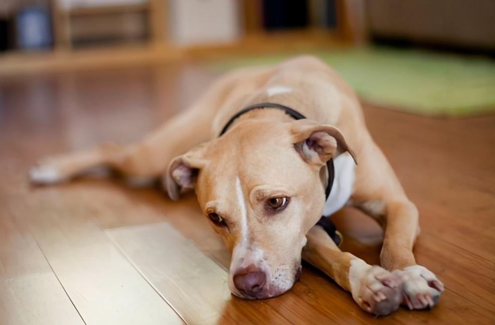 """""""短命狗狗""""的6个特征,希望你家狗狗一个都没有"""