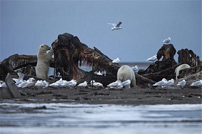 北极熊开始吃垃圾?全球变暖导致无处觅食,都说是人类造成的