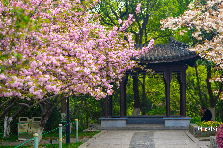 常州人注意了,这里的樱花处在盛花期!出示健康码就可免费观赏