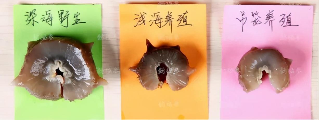 深水野生海参和养殖海参有哪些区别?