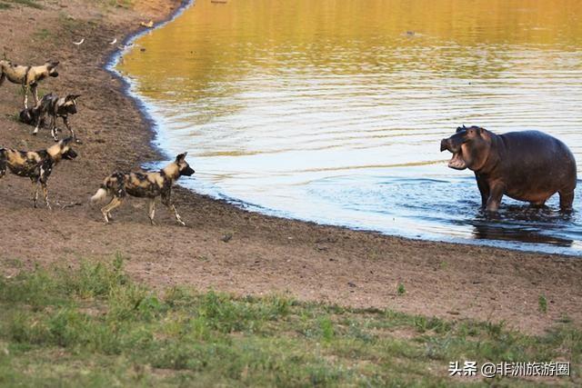 非州野狗群小溪水饮水,江小溪马进行进攻,野狗果断撤出