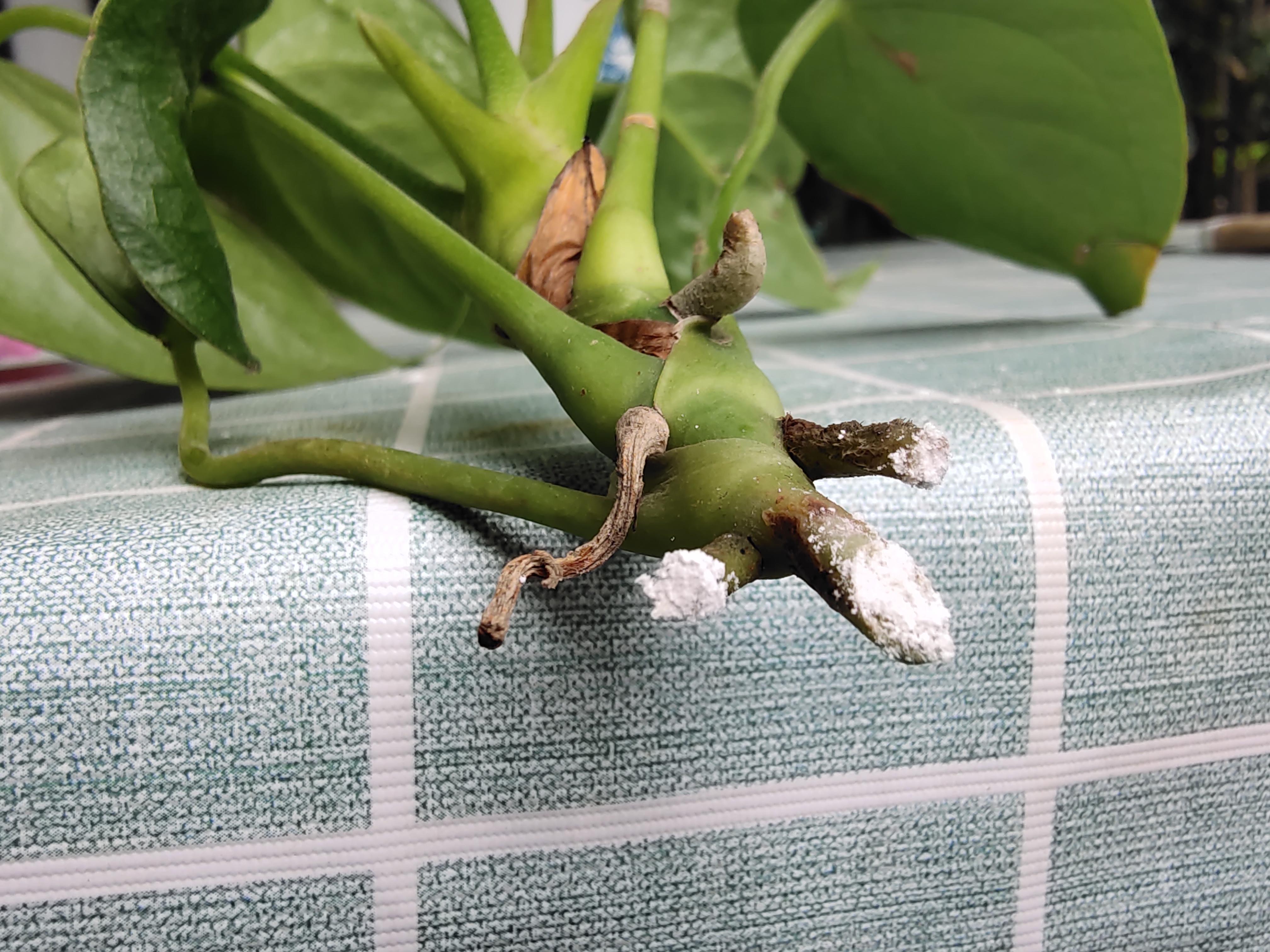 圖解紅掌分株繁殖過程,現在分出小苗,養護得當秋天就能開花