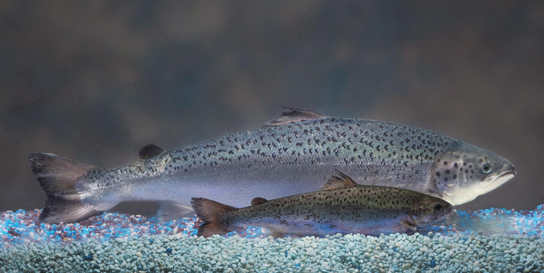 """美国转基因三文鱼为""""生长激素鱼""""?民众拒购,450吨鱼卵或滞销"""