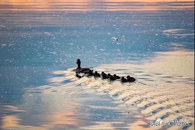 汉中江边的小野鸭长大了