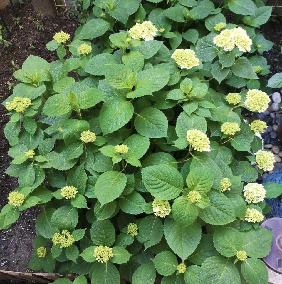每年4月养绣球花,抓住5个要点,不出3周就是大花苞 家务 卫生 第2张