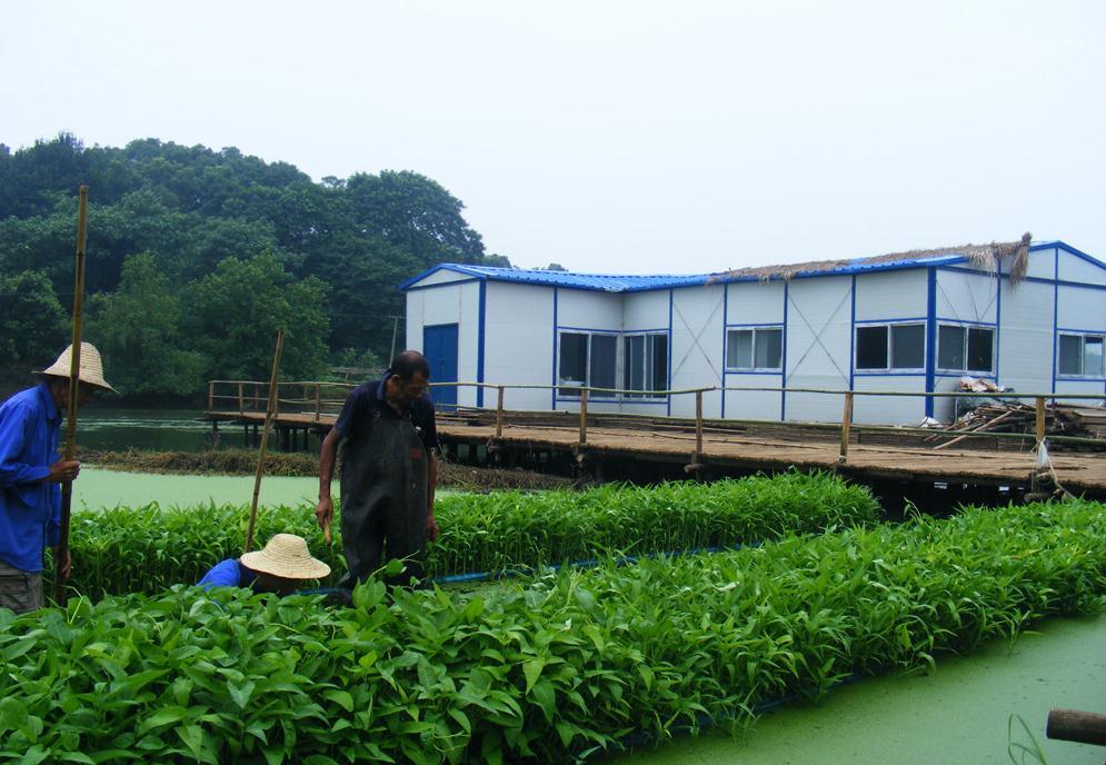 農村大叔水面種菜8年一畝賣6萬,長得快口感嫩,巧用漁網年收四茬