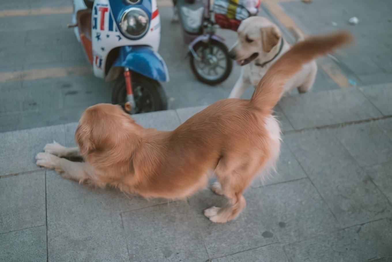 """狗狗为啥总是""""伸懒腰"""",原因一般是这6点"""