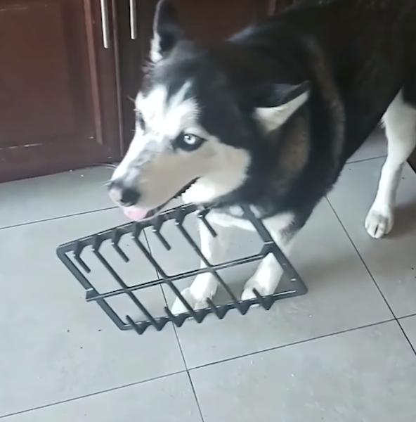 那些偷吃的狗狗,证据都写着脸上了!以为主人是瞎的吗