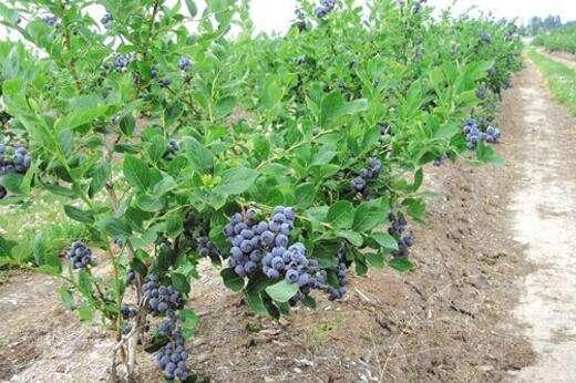 蓝莓如何修剪产量高?幼树、成年树不一样,应该区别对待