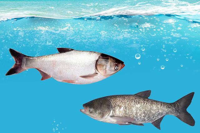 鲢鳙鱼败血症(花白鲢暴发性出血病)的防控方法