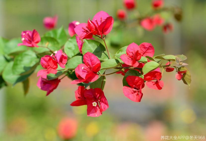 10个养花常识,杜绝黄叶落叶,花儿蹭蹭长 家务卫生 第2张