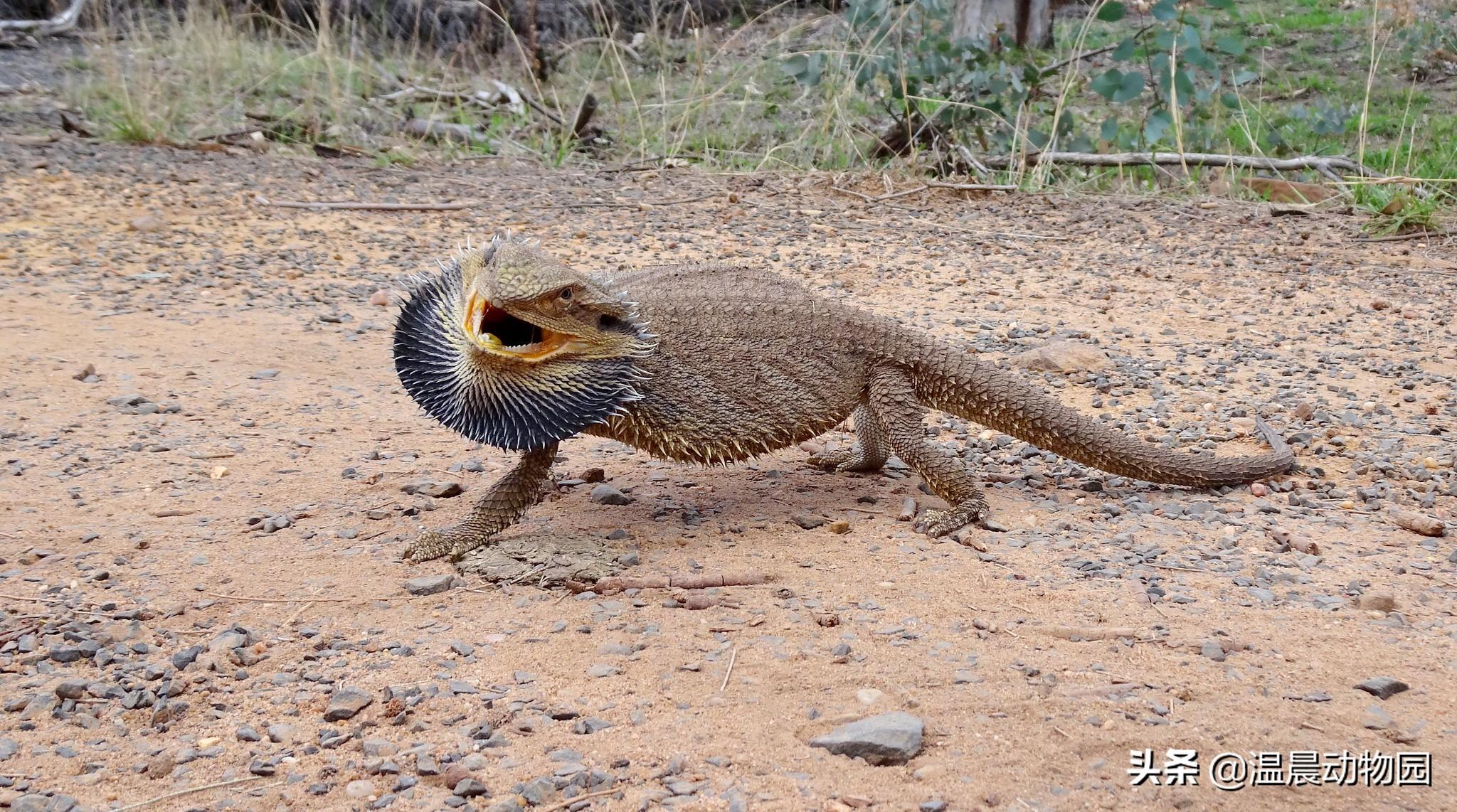 鬃狮蜥养起来还算比较省心,但是新手铲屎官需要事先了解这些信息
