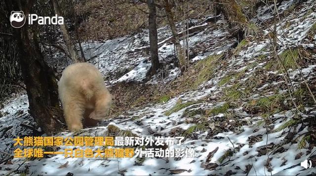 超罕见!全球唯一白色大熊猫长大变金白色