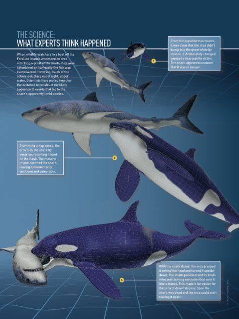 外表乖巧的虎鲸,凭什么能秒杀大白鲨?很多人对虎鲸并不了解