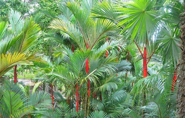 常見的棕櫚科植物,你認識幾種?