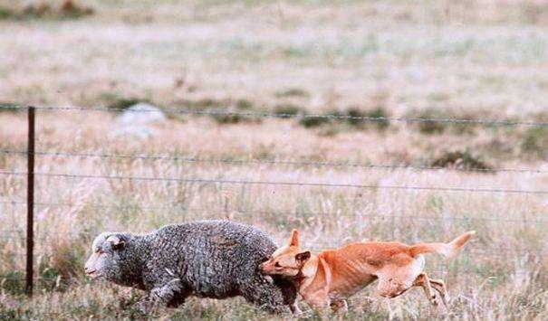 它是横扫澳洲生物链、遏制野兔的霸主,如今却濒临灭绝