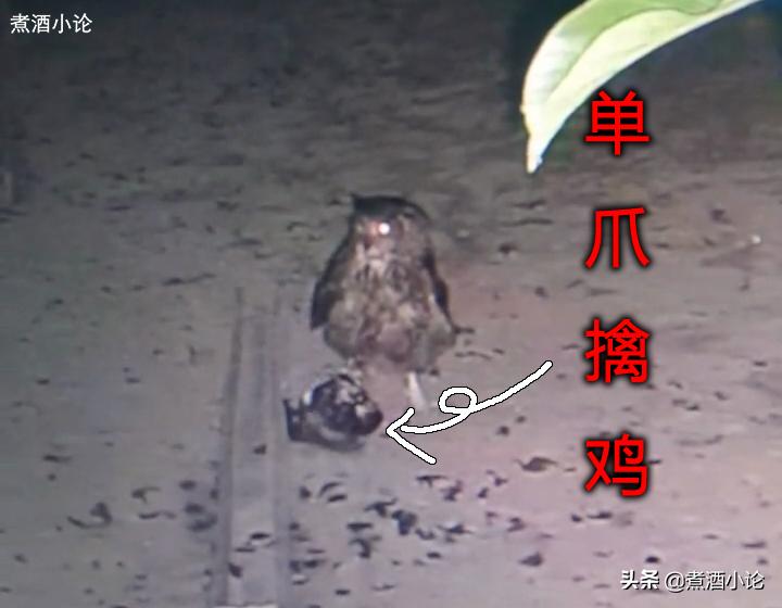 甘肃陇南一户人家连续4晚被偷鸡,主人看了监控却束手无策