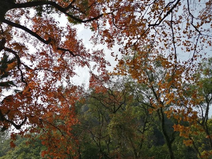 枫叶都红了,银杏也黄了,色彩缤纷的七星景区美如画