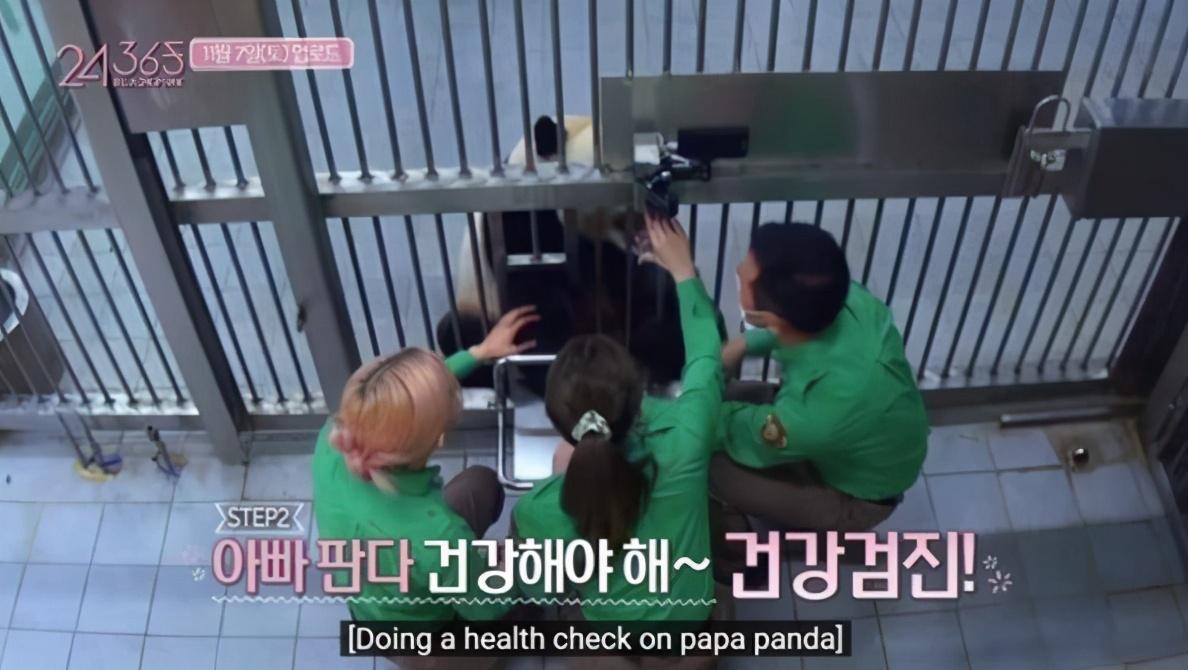 熊猫饲养体验引争议,Blackpink表示按照饲养员指示进行