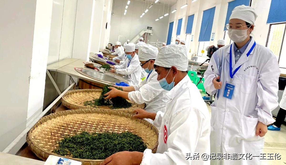 第五届全国茶业职业技能竞赛绿茶加工竞赛贵州选拔赛正式启动