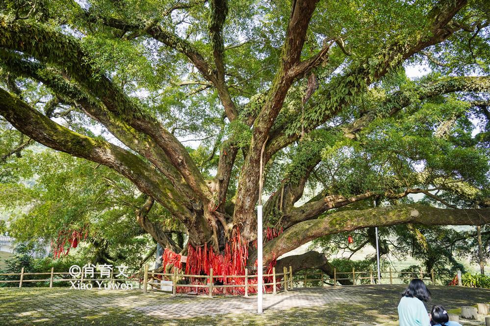 广西三江发现1300年的榕树王,树冠面积达2.3亩,需10人方可合抱