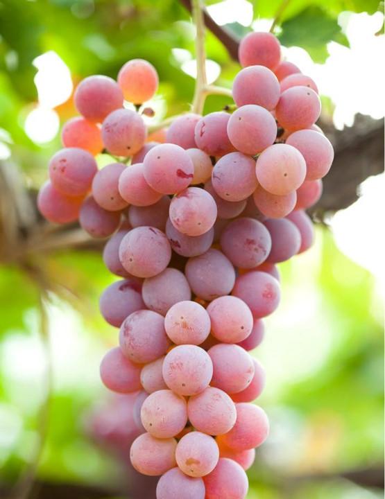 葡萄酒,是要看葡萄品种的