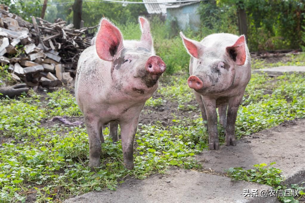 最新猪价预警:非瘟来袭,猪价行情有变!下半年猪价这样走