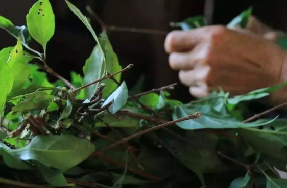 """神仙树叶:夏季做""""凉粉""""是一绝,俗称""""神仙豆腐"""",附制作方法 美食做法 第7张"""