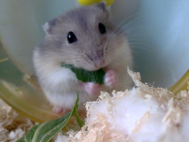 科普一下:养仓鼠的你,对仓鼠了解多少呢?