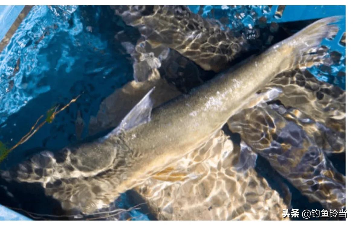 班公湖,一个神奇又令人向往的湖,也是一个鱼多到可怕的地方!