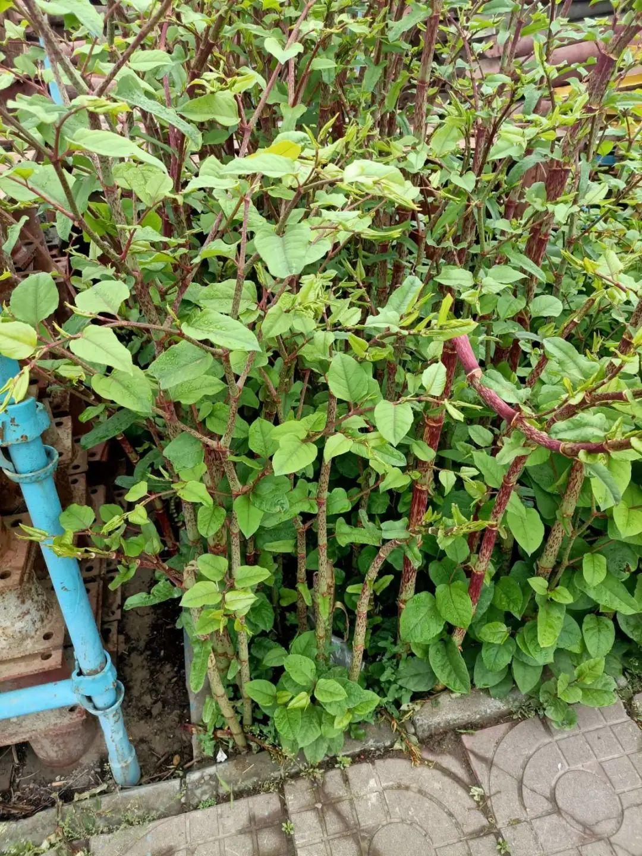 院子长出9种草,看到就铲除,留着就是大祸害 养花小妙招 第5张