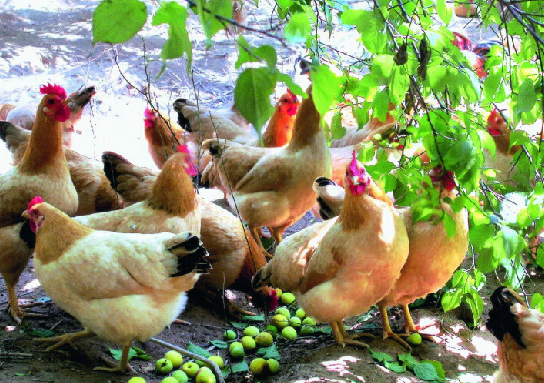 散养鸡头疼的球虫病应该怎么样预防和治疗 疾病预防 第1张