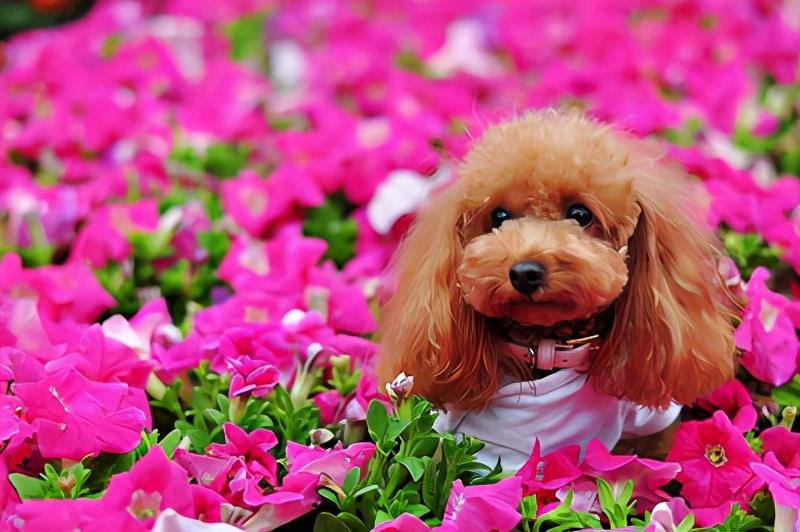 爱养小型犬,就选择这几种小狗,很忠诚