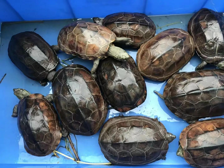 乌龟之中华草龟
