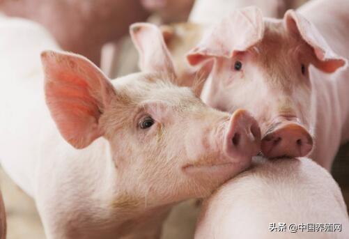 预计近期生猪市场价格高位震荡,猪价有望进入下行区间