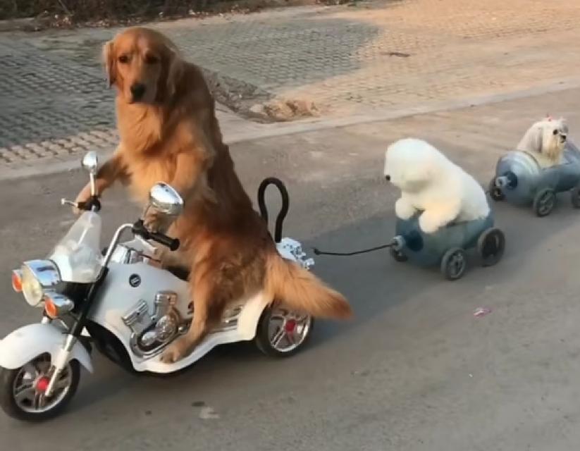 """金毛到底可以多聪明呢?看到这只""""网红犬""""刷新了我的认识"""
