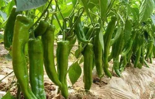 辣椒如何能增产?适时播种很重要,很多农户不清楚最佳时间