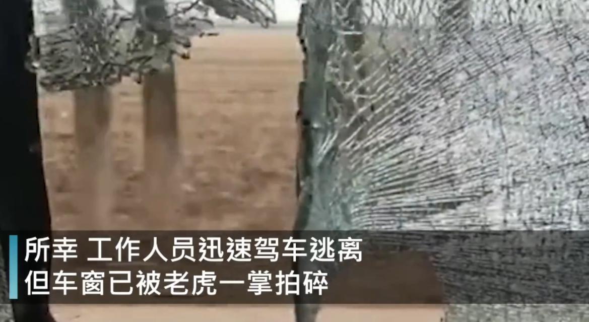 野生东北虎闯进黑龙江村庄,飞奔一掌拍碎车窗,它的杀伤力多强?