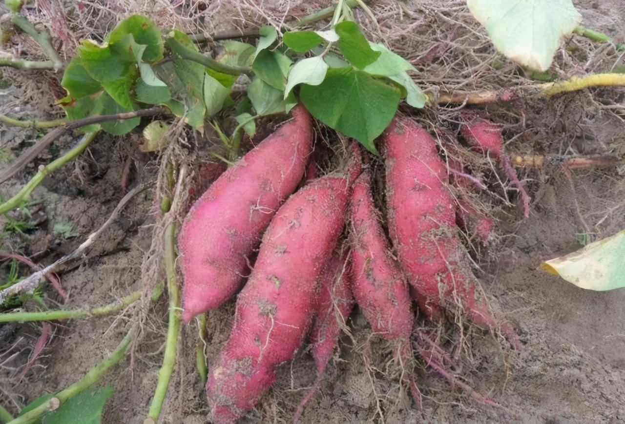 种植红薯到底需不需要施肥?