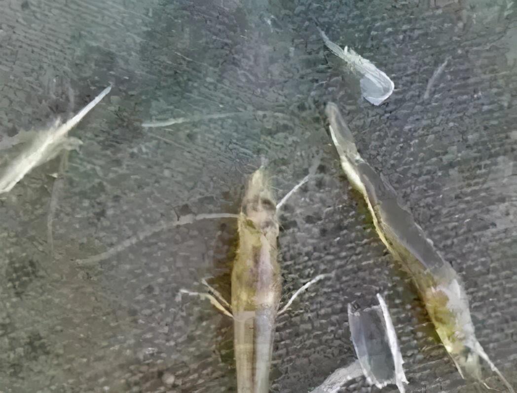 「對蝦養殖管理」大蒜在水產養殖好處多,它都有哪些妙用?