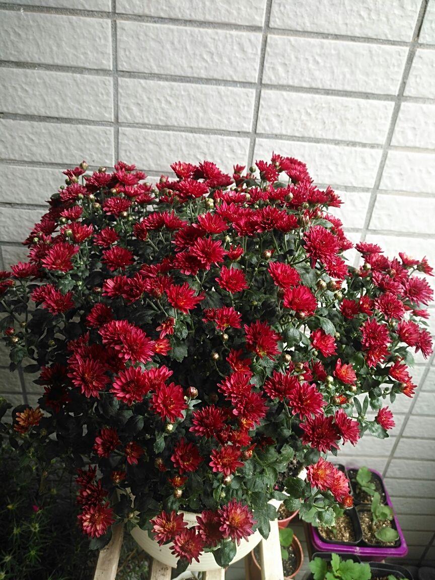 """秋天养盆""""千头菊"""",一盆能开上百朵花,活脱脱一个大花球"""