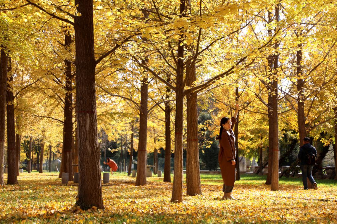 """""""杏""""好遇见你,杨凌这片银杏林惊艳了整个秋天"""