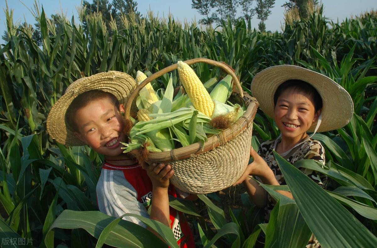 水煮玉米有技巧,多加1樣調料,煮出的玉米又香又甜糯