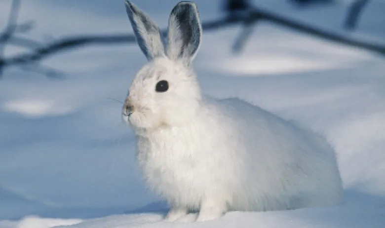 兔子急了真咬人?監控发現,野兔在其它動物胴體上享受盛宴!