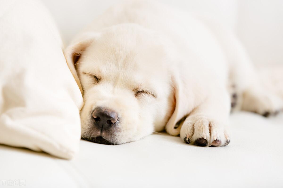 犬瘟会传染给人吗?什么叫犬瘟热病毒?